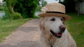 Portrait de Labrador dans le chapeau banque de vidéos