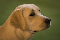 Portrait de labrador retriever Photo libre de droits