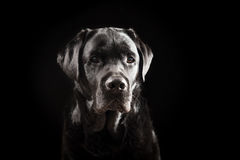 Portrait de labrador retriever Photos libres de droits