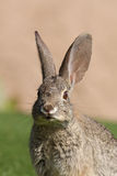 Portrait de lapin Photo stock