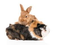 Portrait de lapin et de cobaye Images libres de droits