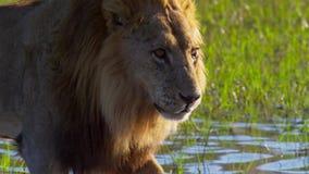 Portrait de lion dans la prairie d'Okavango de delta d'Okavango, Botswana, Afrique du sud-ouest images libres de droits