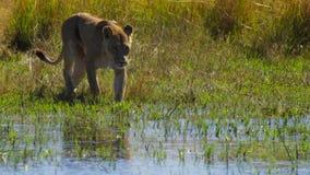Portrait de lion dans la prairie d'Okavango de delta d'Okavango, Botswana, Afrique du sud-ouest photo libre de droits