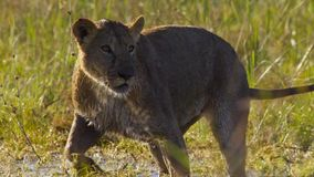 Portrait de lion dans la prairie d'Okavango de delta d'Okavango, Botswana, Afrique du sud-ouest photos stock