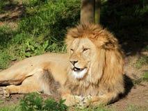 Portrait de lion de Barbarie Image stock