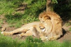 Portrait de lion de Barbarie Photos libres de droits