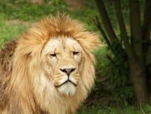 Portrait de lion de Barbarie (Panthera Lion Lion) Photo libre de droits