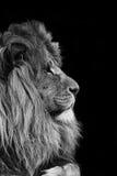 Portrait de lion en noir et blanc Image stock