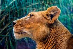 Portrait de lion femelle photo stock