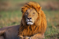 Portrait de Lion Romeo II dans le masai Mara Images libres de droits