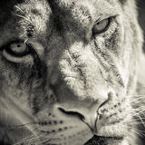 Portrait de lionne Photographie stock