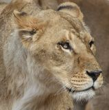 Portrait de lionne Photo stock