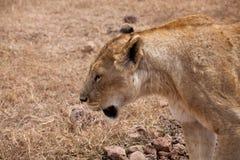 Portrait de lionne magnifique photo libre de droits
