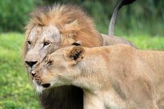 Portrait de lions Photo stock