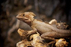 Portrait de lizzard de Brown photo libre de droits