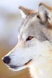 Portrait de loup de bois de construction Image libre de droits