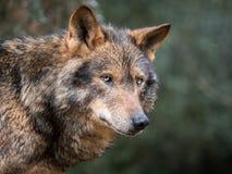 Portrait de loup ibérien Photographie stock libre de droits
