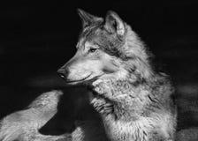 Portrait de loup de steppe de а Image stock