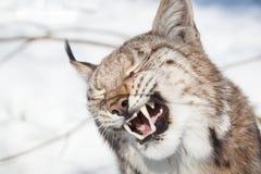 Portrait de Lynx Photos libres de droits