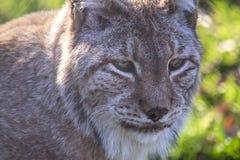Portrait de Lynx Photographie stock libre de droits