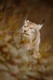 Portrait de lynx eurasien dans l'herbe brune Image libre de droits