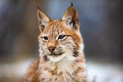 Portrait de lynx eurasien dans la forêt à l'hiver tôt image libre de droits