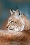 Portrait de Lynx extérieur photos libres de droits