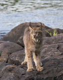 Portrait de Lynx sur des roches de rivière Image stock