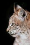 Portrait de Lynx sur le noir photographie stock libre de droits