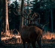 Portrait de mâle adulte puissant majestueux de cerfs communs rouges en forêt d'Autumn Fall photos stock