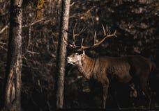 Portrait de mâle adulte puissant majestueux de cerfs communs rouges en forêt d'Autumn Fall photographie stock libre de droits