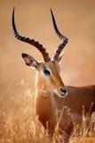 Portrait de mâle d'impala Photographie stock libre de droits