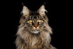 Portrait de Maine Coon Cat sur le fond noir images libres de droits