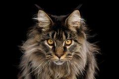 Portrait de Maine Coon Cat sur le fond noir photos stock