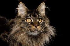 Portrait de Maine Coon Cat sur le fond noir photographie stock