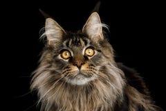 Portrait de Maine Coon Cat sur le fond noir photographie stock libre de droits