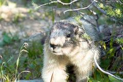Portrait de marmotte blanchie (caligata de Marmota) PA nationale de glacier Photo stock