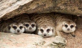 Portrait de meerkat Photographie stock libre de droits