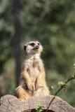 Portrait de meerkats Images libres de droits