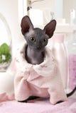 Portrait de minou de Don Sphinx habillé dans des pyjamas Image stock