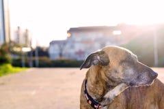 Portrait de mon chien au coucher du soleil Photographie stock