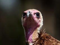 Portrait de monachus à capuchon de Necrosyrtes de vautour photos libres de droits