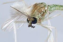 Portrait de moustique de Chironomidae Photographie stock
