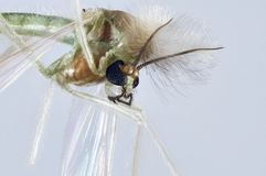 Portrait de moustique de Chironomidae Photographie stock libre de droits