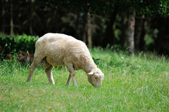 Portrait de moutons sur le fond de nature images libres de droits