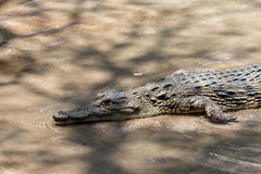 Portrait de Nile Crocodile Photo libre de droits