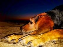 Portrait de nuit d'un chien de chasse se reposant sur la plage Images stock