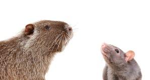 Portrait de nutria et de rat curieux Photo libre de droits