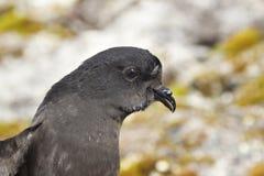 Portrait de pétrel de Wilson antarctiques images stock
