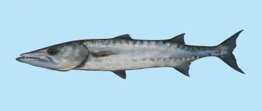 Portrait de pêche de barracuda Image libre de droits